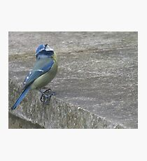 Blue tit perched on a wall Photographic Print