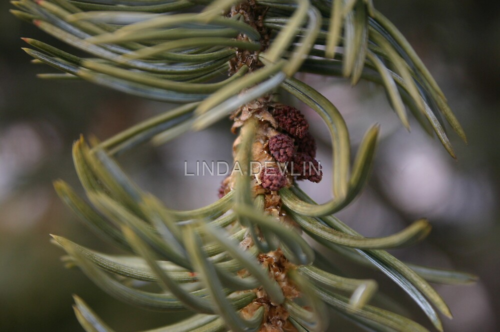 Ponderosa Pine Macro Cones........... by LINDA DEVLIN