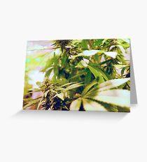Skunk marijuana plants (Cannabis sativa) being grown in pots Greeting Card