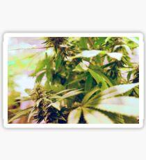 Skunk marijuana plants (Cannabis sativa) being grown in pots Sticker