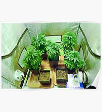 Home Grown Cannabis plants.  Poster