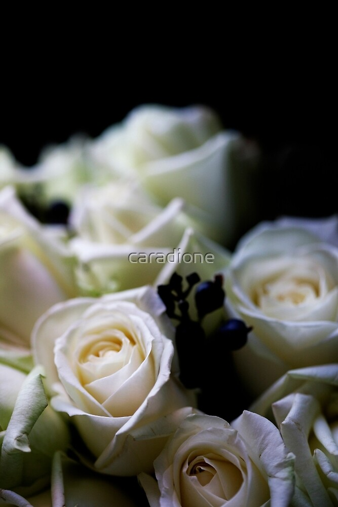 white rose by caradione