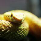 Eyelash Viper by caradione