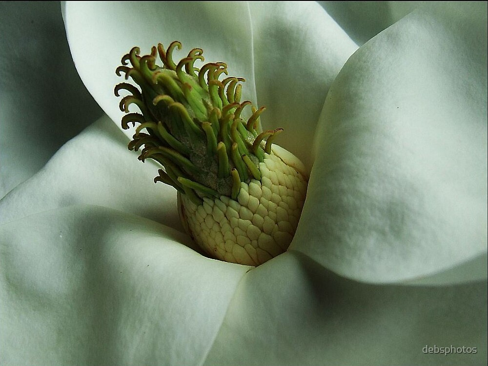 Magnolia by debsphotos
