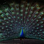 Peacock by Evita