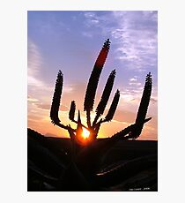 Aloe Aurora Photographic Print