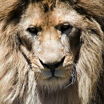 Portrait of a Lion by jansphotos