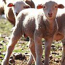 Lambs by Chris Coetzee