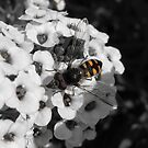 Native Bee by DPalmer