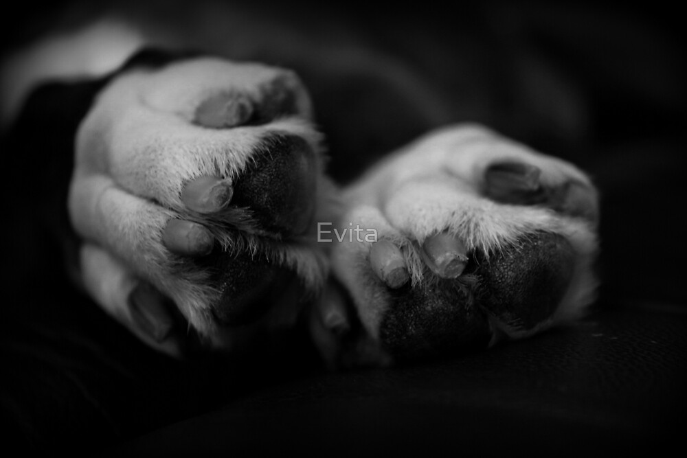 Paws - Boxer Dogs Series by Evita
