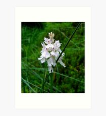 Scottish Orchid (Dactylorhiza maculata) Art Print