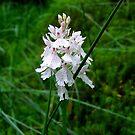 Scottish Orchid (Dactylorhiza maculata) by GerryMac