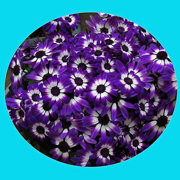 Purple and White Cinerarias - Floral Vignette by BlueMoonRose