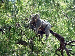koala seen at Perth, Australia by chord0