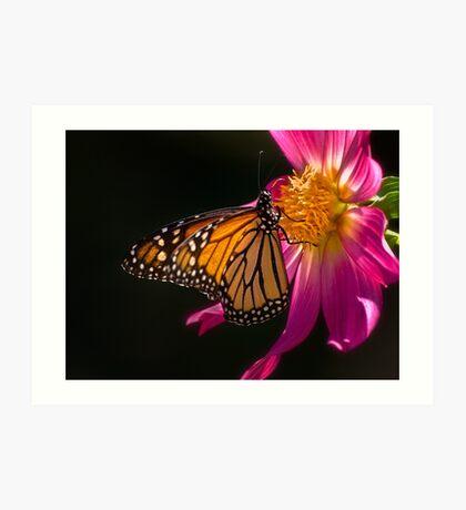 Monarch nippt an Dahliennektar Kunstdruck