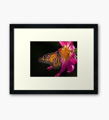 Monarch nippt an Dahliennektar Gerahmtes Wandbild