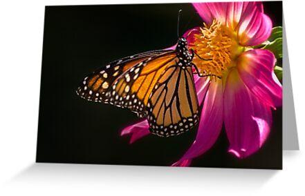 Monarch sipping dahlia nectar by Celeste Mookherjee