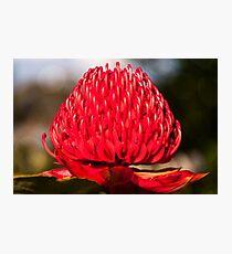 Red Waratah in Blue Mountains garden in Australia Photographic Print