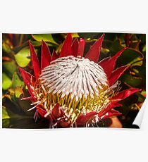 King Protea Flower Poster