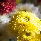 Colourful Chrysanthemums  by Margaret Stanton