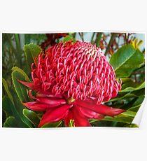 Red Waratah Flower Poster