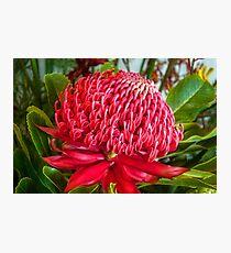 Red Waratah Flower Photographic Print