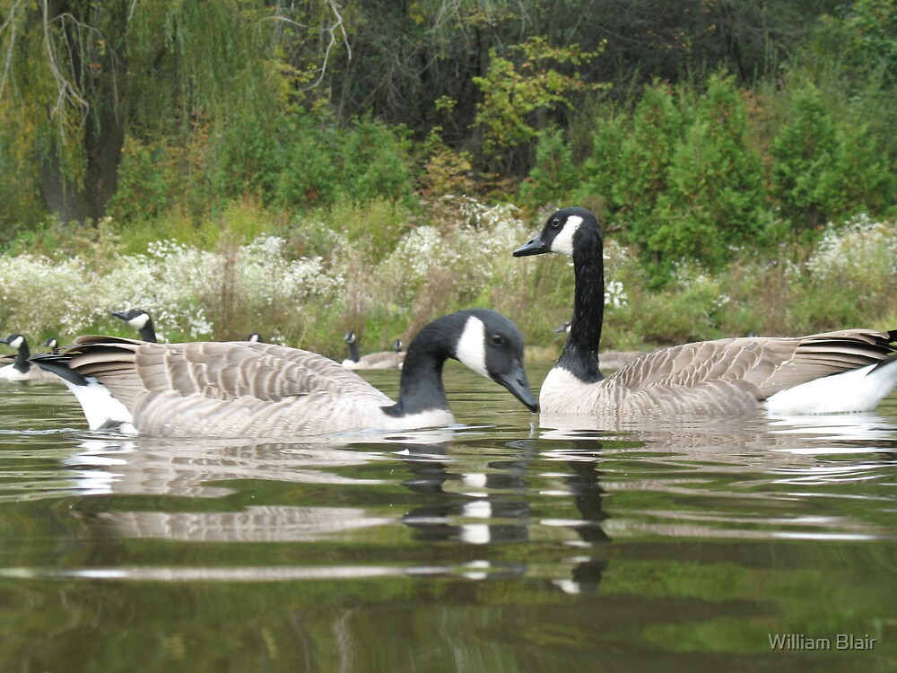 Canadian Geese by William Blair