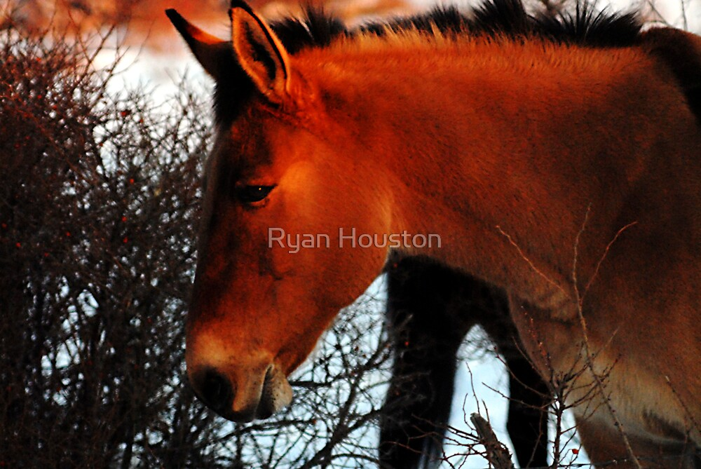 Mule at Sunset by Ryan Houston