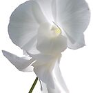 Pure White Orchid by DAdeSimone