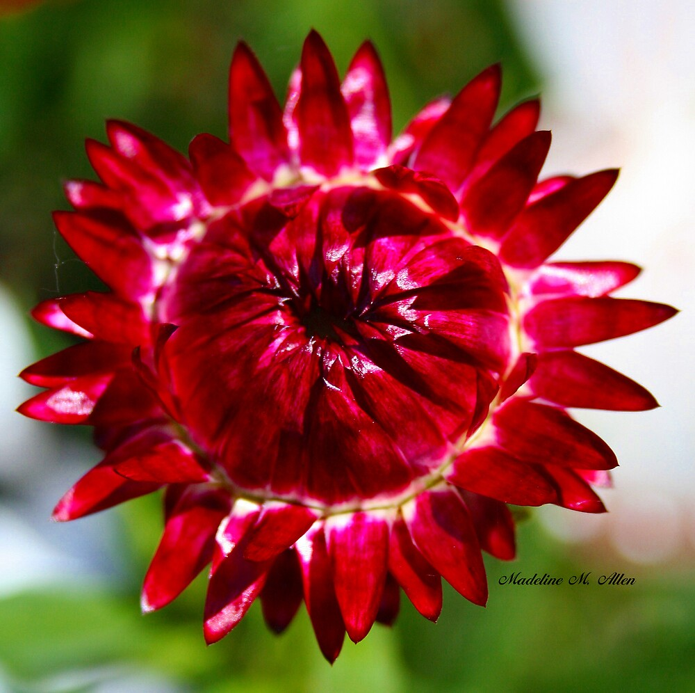 Floating Strawflower by Madeline M  Allen