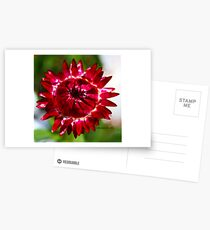 Floating Strawflower Postcards
