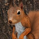 European Red Squirrel by Vac1