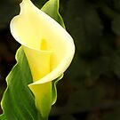 Calla lily by Linda Sparks