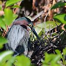 Green Heron Nesting by Gail Falcon