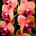 Phalaenopsis Amabilis by Jessica Manelis