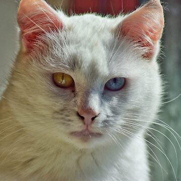 White cat with amazing eyes by AbriiD