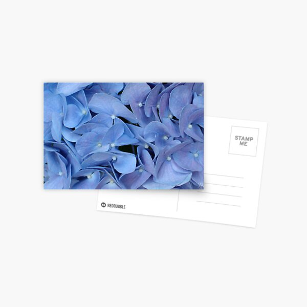Blue Hydrangea Petals Postcard