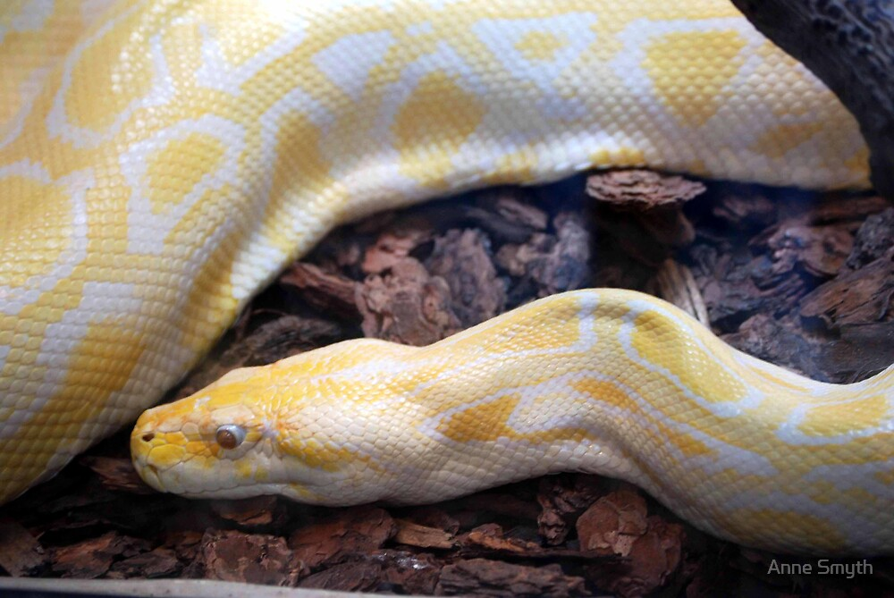 Burmese Python by Anne Smyth