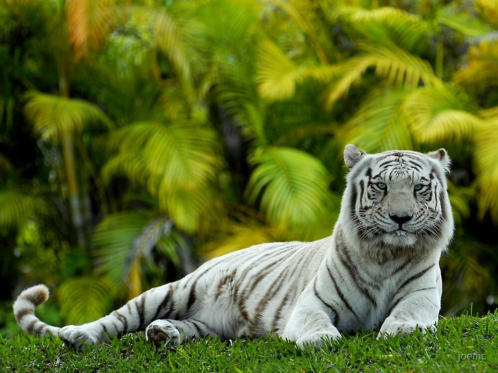 White tiger editted by joemc