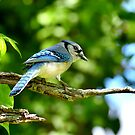 Mr. Blue Jay  by Lanis Rossi