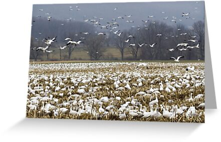 Snow Geese by almostfamous