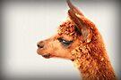 Ein Alpaka-Porträt von Evita
