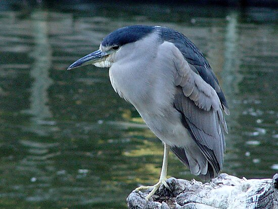 Night Heron by Anne Smyth