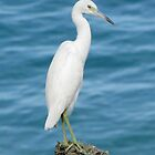 Little Blue Heron (Juvenile) by hummingbirds