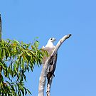 White belly Sea Eagle. NT by AudGirv