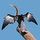 Female Anhinga by hummingbirds