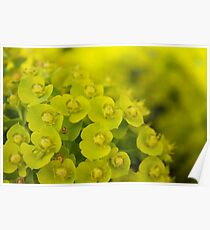 Chartreuse  Poster