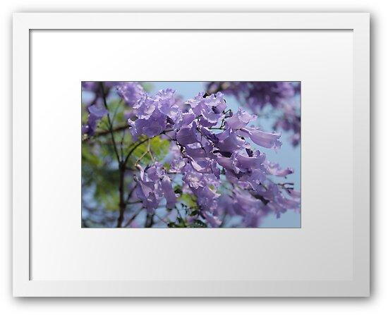 Jacaranda blooms by Margaret Stanton