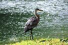 Waterlogged Heron by John Schneider