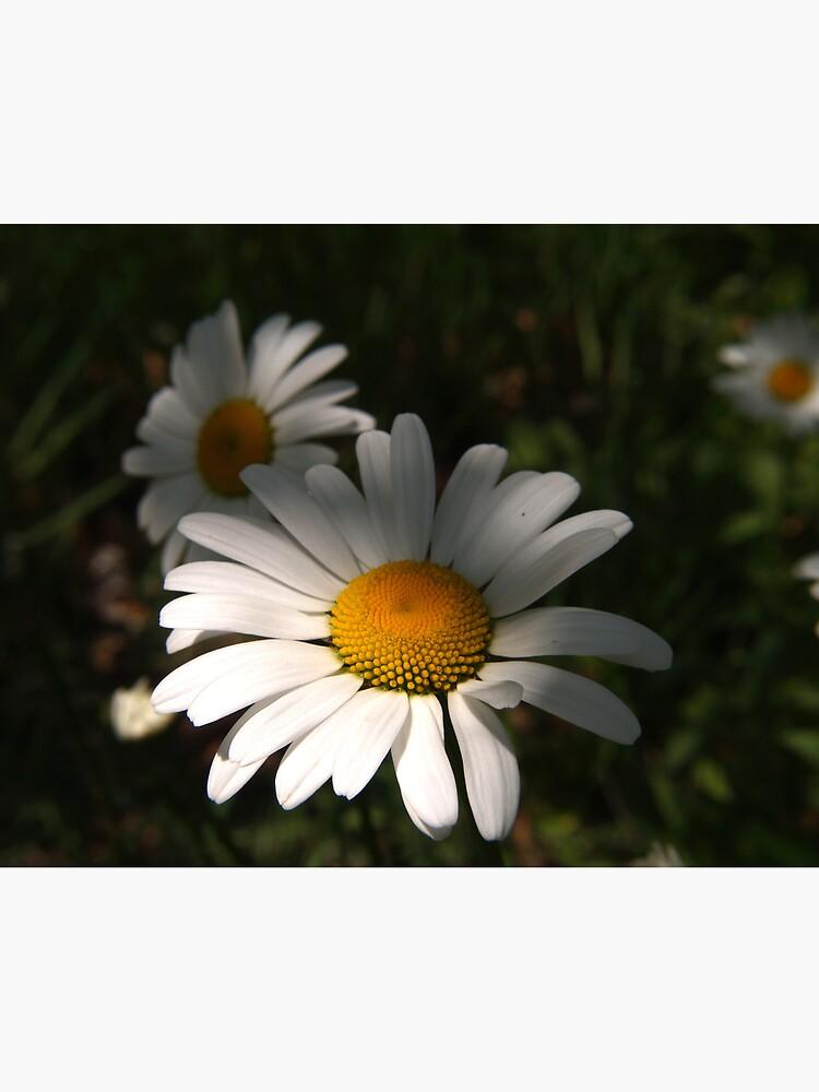 Daisys by JandMPhoto
